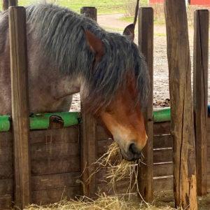 Häst äter hö